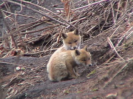 2匹の狐の赤ちゃん DSC02018