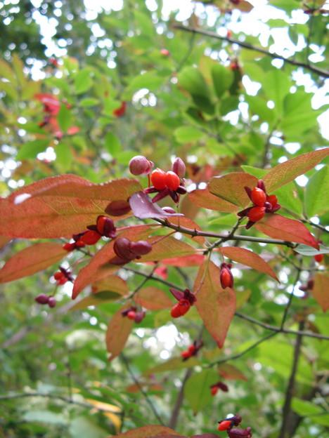 コマユミ(小檀弓)の紅葉と実 IMG_5005