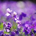 Photos: 季節感無視シリーズ~紫の海に漂う