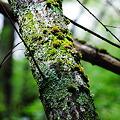 季節感プチ無視シリーズ~苔むす樹 大正池畔