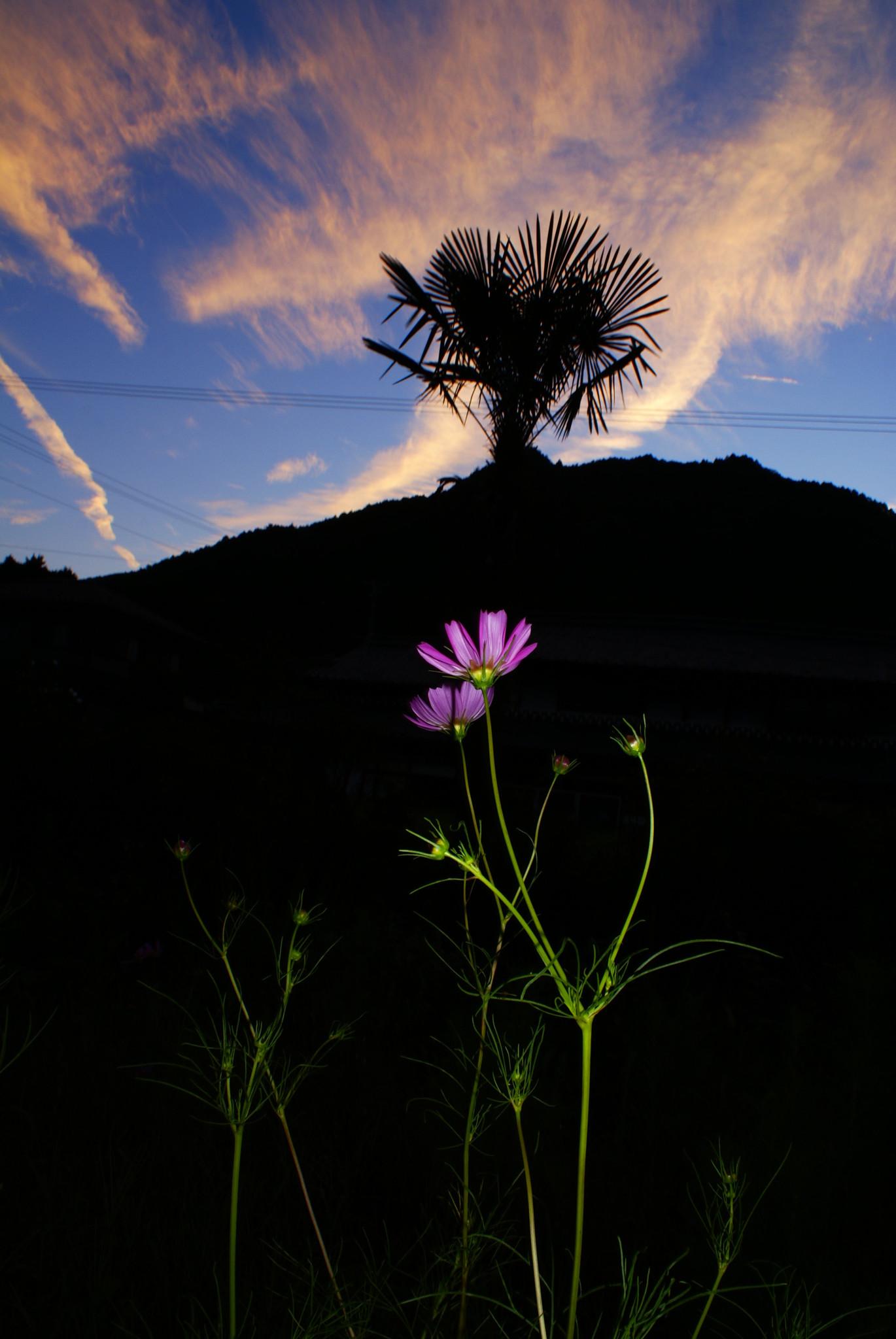 コスモスと夕焼け雲