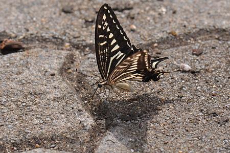 アゲハチョウ科 ナミアゲハ