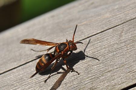 スズメバチ科 キボシアシナガバチ