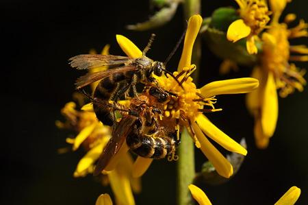 ツチバチ科 キンケハラナガツチバチ♂♀