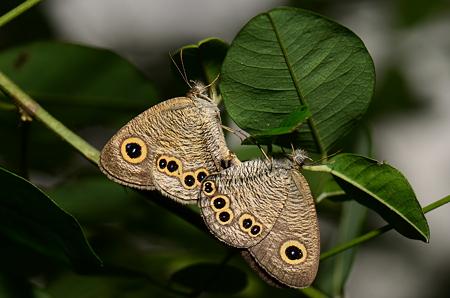 タテハチョウ科 ヒメウラナミジャノメ♂♀