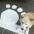 つた吉 柴犬