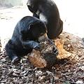 写真: 木を齧ったり穿ったりして虫を探すマレーグマ