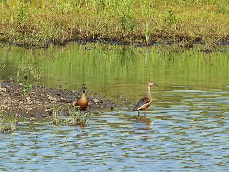 リュウキュウガモ(Lesser Whistling-duck) P1140897_R