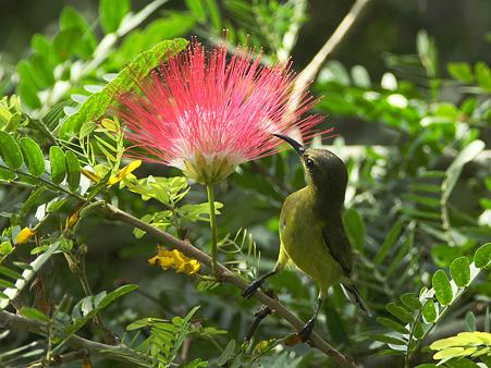 キバラタイヨウチョウ(Olive-backed Sunbird) IMG_1463_R