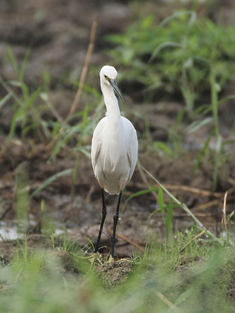 コサギ(Little Egret) O1001027_R