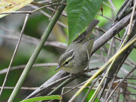 センダイムシクイ?(Eastern Crowned Warbler) DSC_0415_R