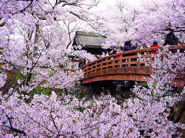 写真: 高遠城趾 桜雲橋と桜