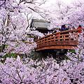 Photos: 高遠城趾 桜雲橋と桜