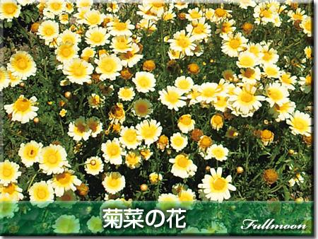04菊菜の花