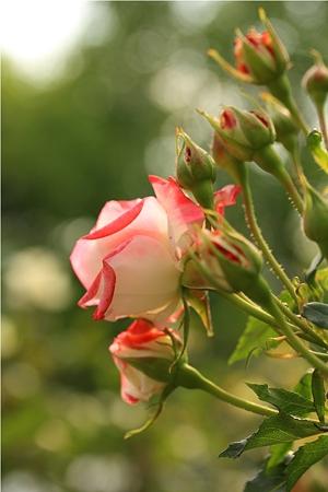 蕾の薔薇はピンクと白のグラデーションでした
