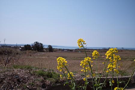 Field_mustard04212011dp1
