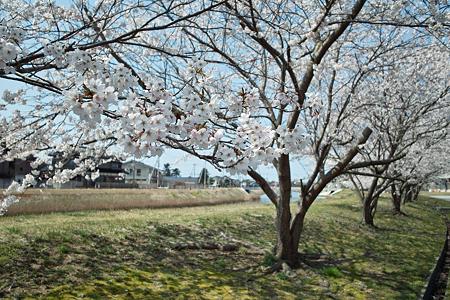 Cherry_blossom04212011dp1-10