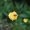 Dandelion_and_bug06152011dp2-03