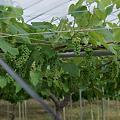 Photos: Grape07092011sd15