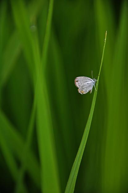 Photos: 稲と蝶♪