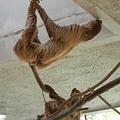 写真: 天井の水を舐めるナマケモノDSCN1201