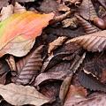 Photos: 落ち葉とドングリ