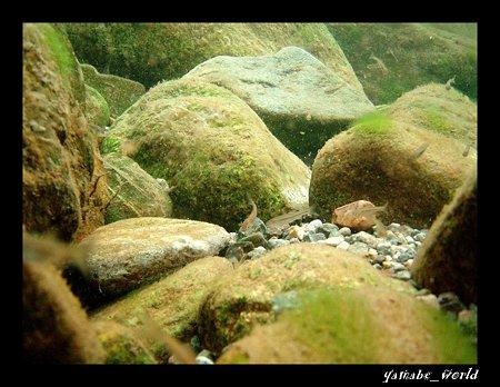 清流の稚魚