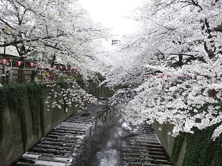 目黒川の桜2011 その1