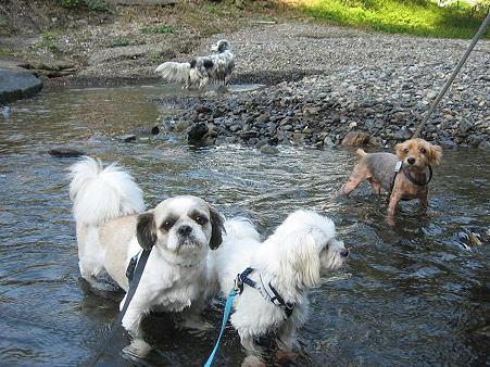 ワンコはみんな川遊びが好き。