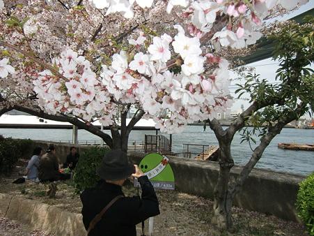 大阪天保山山頂の桜2011年