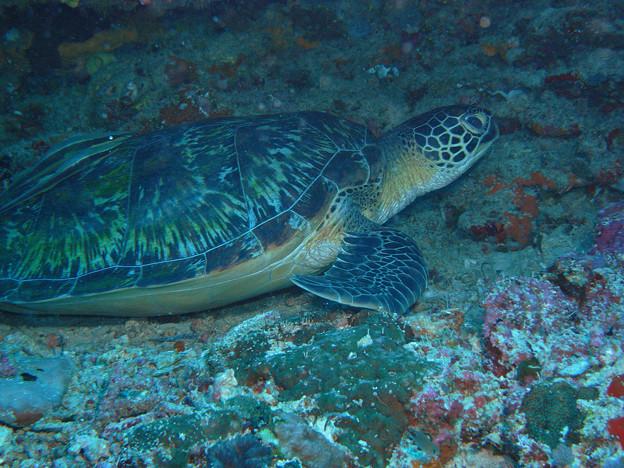 アオウミガメ 1