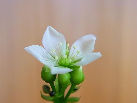 ハエトリグサの花1日目