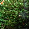 Photos: 20101024 60cmエビ水槽のウォーターフェザーの稚エビ