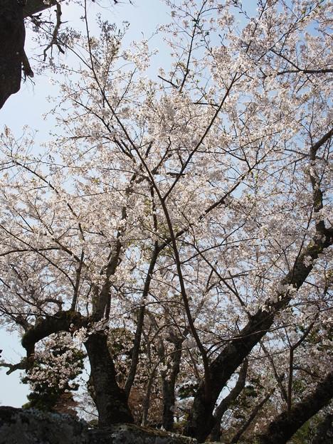 太陽を目指す桜樹