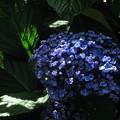 写真: オタフク紫陽花 5