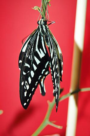 2011年09月28日_DSC_1324ナミアゲハの羽化