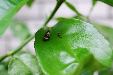 2011年07月13日_DSC_0981アゲハの幼虫