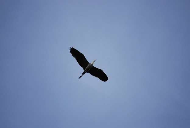 Photos: 鷺