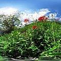 2011年9月19日 長尾川河畔 橘高校付近 彼岸花と露草の群生 パノラマ写真
