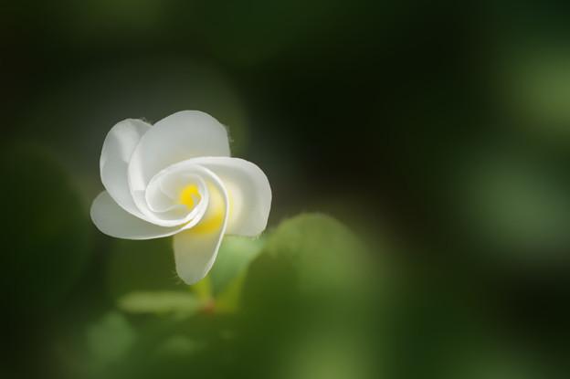 写真: 開花前のオキザリス