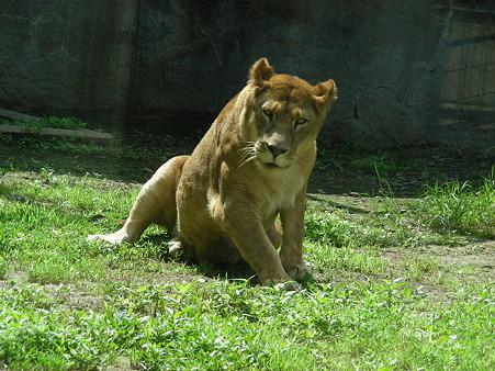 ライオンもくたばり気味