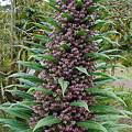 写真: Echium pininana 2