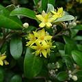写真: Corokia Virgata 'Yellow Wonder' (ミズキ科)