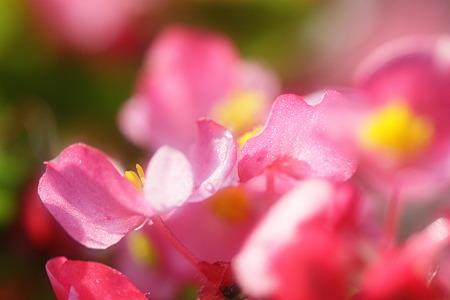 ベゴニアも最後の花盛り~~