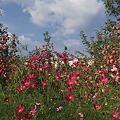 写真: 林檎畑に秋桜彩る