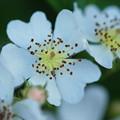 Photos: Multiflora Rose 6-17-12