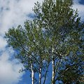 写真: Birches and the Sky