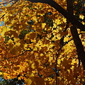 Photos: Maples in the Light