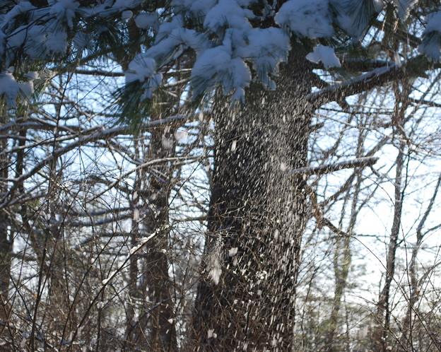 写真: Snow Shaking Off 1-9-11