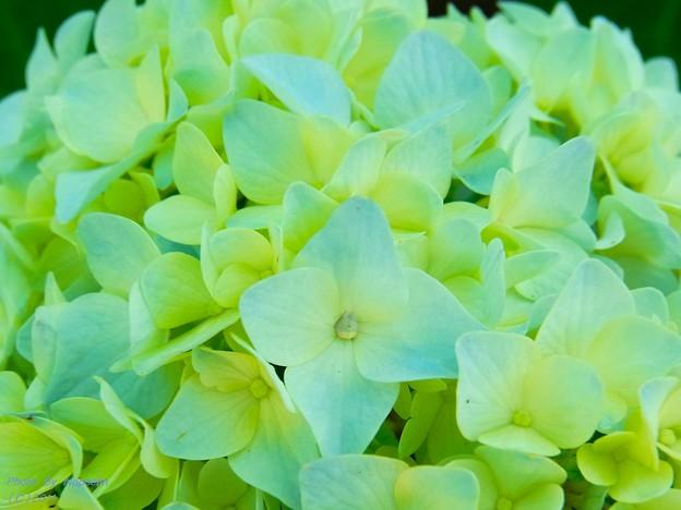 写真: パステルカラーの紫陽花